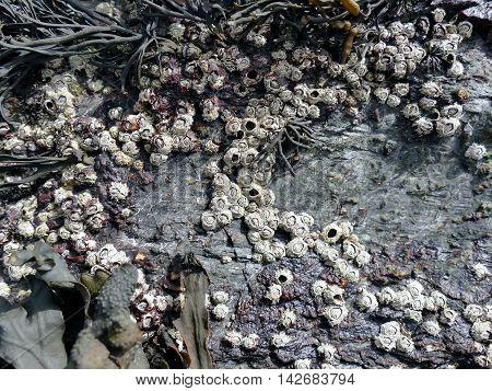Barnacles And Seaweed At Low Tide Close Up