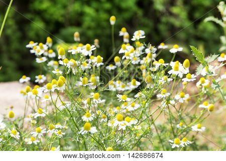 White uncultivated daisy flower field with copy space, place for text