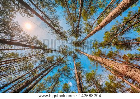 Summer Pinewood, Bottom Wide Angle View Of Tall Thin Evergreen Pines, Blue Sky And Sun Background