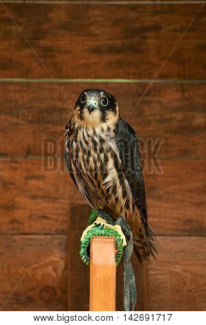 Portrait of hobby falcon. Hobby falcon bird sitting on a perch
