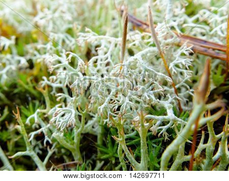 White moss macro. Plant the moss covering the stones. Soft plant of the tundra and North.
