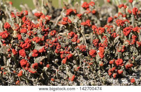 Cladonia Cristatella Or British Soldiers Lichen