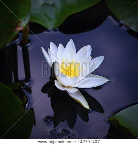 Beautiful blooming flower - white water lily on a pond. (Nymphaea alba) Natural colored blurred background. Nature