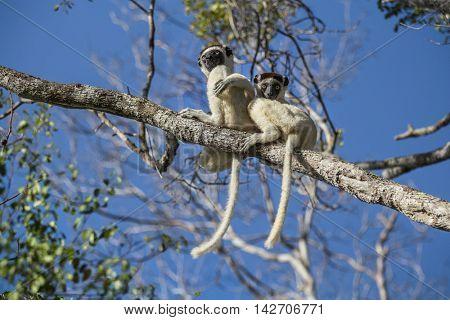 Endemic sifaka lemurs (Propithecus) relaxing on the tree. Madagascar