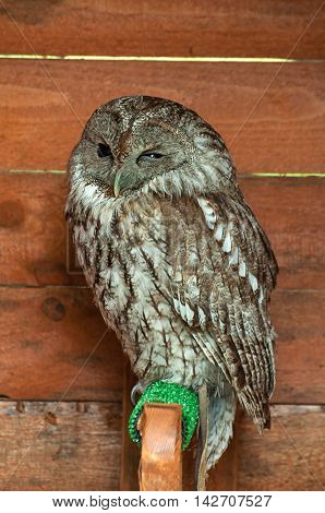 The tawny owl -in Latin Strix Aluco. Portrait of tawny owl bird in captivity. Tawny owl bird sitting on the perch and napping