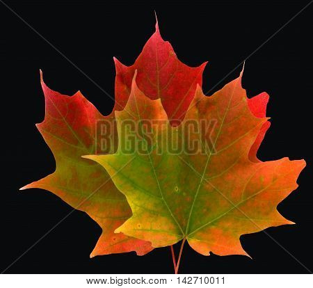 Two colorful Maple leaves on a black background