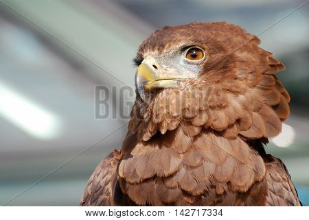 a superb eagle that we can see in America. It looks gorgeous as a badge. a beautiful picture of this bird