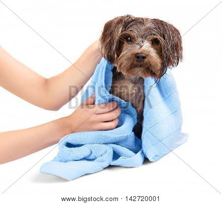 Mistress drying her dog with towel isolated on white