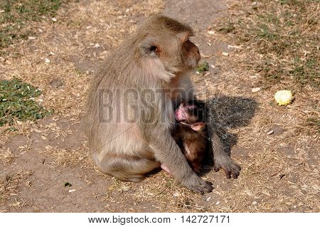 Lopburi Thailand - December 29 2013: Mother monkey feeds her baby on the dry grounds at Wat Phra Prang Sam Yot