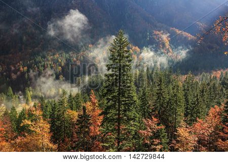 Coniferous and deciduous mountain forest in autumn colors with morning foggy mist rising sun rays penetrating through it. Seasons changing unique sunlight concept textured background.