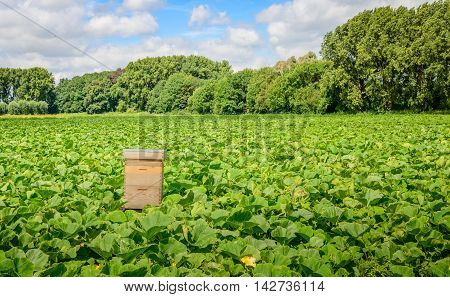 Large field with organic pumpkin cultivation and a simple wooden beehive for fertilization of the blossoms. It's a sunny day in the summer season.