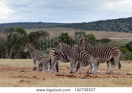 Rest Time At The Dam - Burchell's Zebra