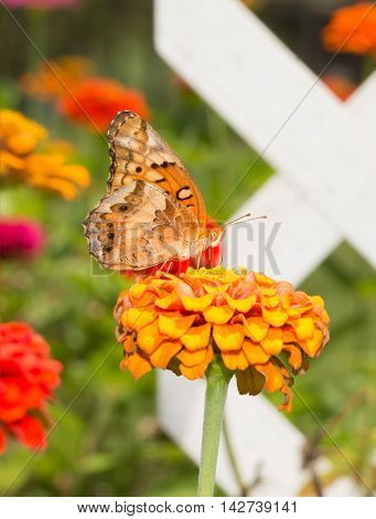 Ventral view of a Variegated Fritillary butterfly feeding on a flower in summer garden