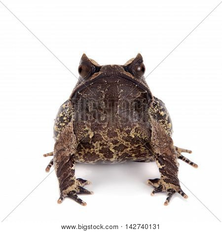 The long-nosed horned frog, Megophrys nasuta, isolated on white background