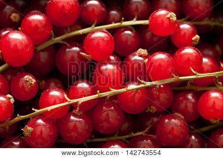 Ribes closeup