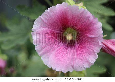 Big pink hollyhock flower front view summer