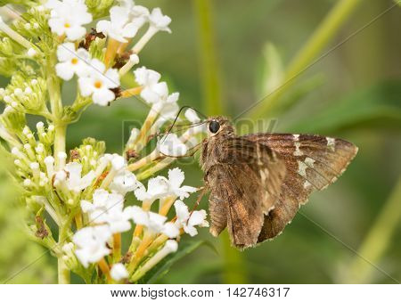 Southern Cloudywing butterfly on a white flowers of Buddleia