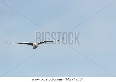 Head-on view of Bonaparte's Gull wings spread