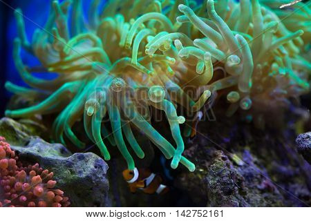 Bubble-tip anemone (Entacmaea quadricolor). Sea life.