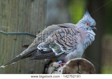 Crested pigeon (Ocyphaps lophotes). Wildlife bird.