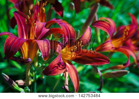 Dark red daylilies in the summer garden.