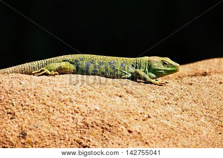 perfect image and detailed with iguana lizard vs . You can see details