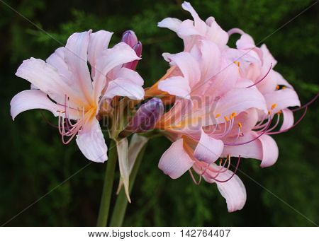 Close-up photograph of pretty pink trumpet flowers.