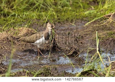 pied lapwing walks on a swamp close up
