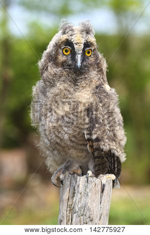 Young long ered owl Asio otus resting on the branch