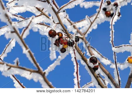 Buckthorn Branches With Hoarfrost