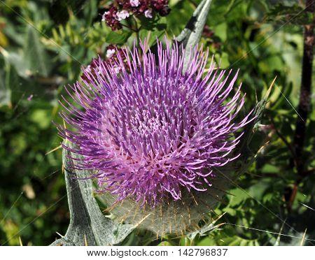Milk Thistle plant Silybum marianum herbal remedy. Scotch thistle, Cardus marianus,  Saint Mary's Thistle