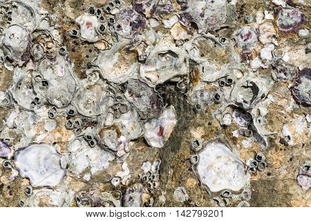 Image Of Sea Shells And Barnacles Fossil On Rock.