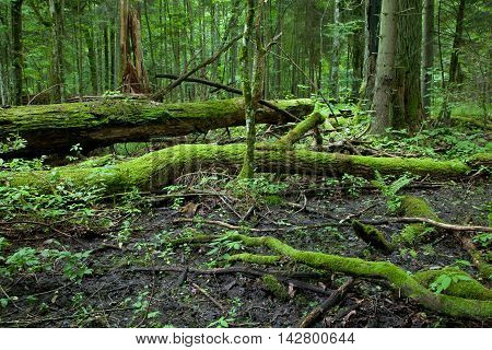 Giant broken oak lying moss wrapped at late summer forest, Bialowieza Forest, Poland, Europe