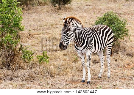 Walking In The Field - Burchell's Zebra