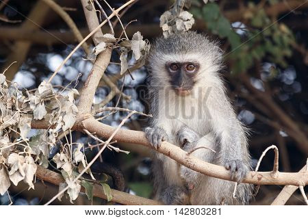 Staring Into The Future - Vervet Monkey