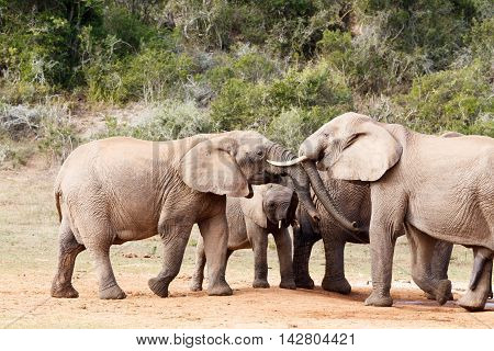 Elephant Trunk Play Day - African Bush Elephant