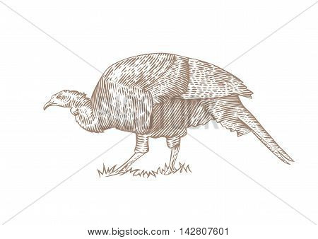 Drawing of living turkey on the green grass