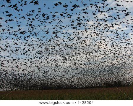 Black Cloud Of Migratingcowbirds