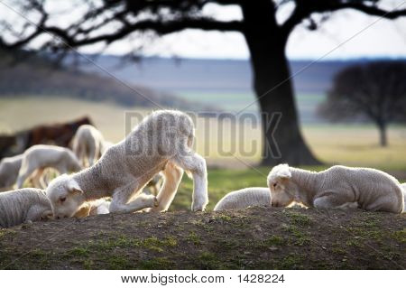 group of white lambs on a field in spring poster