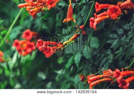 Background Nature In Garden With Beautiful Tropical Flowers. Exotic Liana On Outdoors