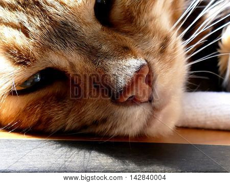 Bengal Cat: Snoozing Bengal Cat Head Closeup