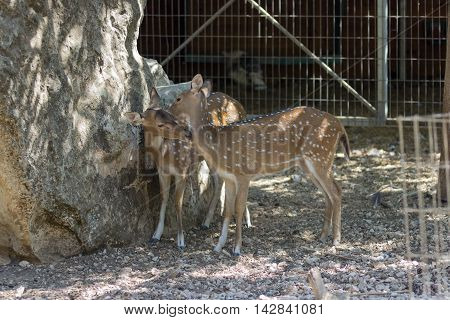 Two small spotted deer sniff one another