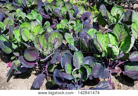 Fresh red and green cabbage grow on field