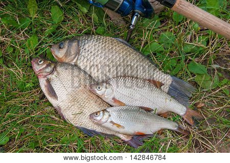 Several Common Bream Fish, Crucian Fish, Roach Fish On The Natural Background. Catching Freshwater F