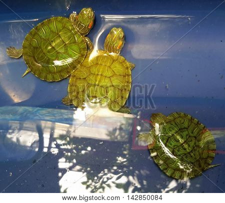 three baby Red-eared Sliders in a blue plastic tub, Songkhla market, Thailand