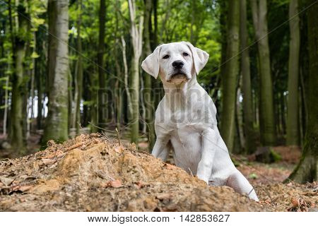 young white beautiful labrador dog puppy sitting in the forest