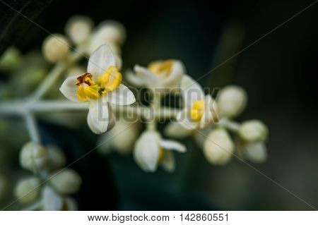 Processing and care of the Olive oil cultivation in Tuscany Bolgheri flowers of the olive tree