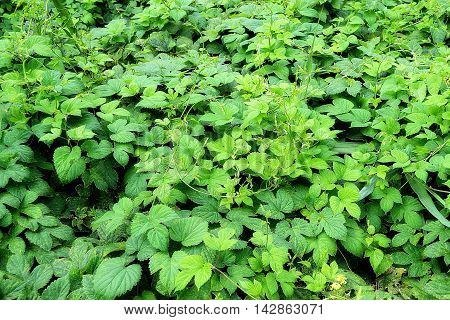 thickets of green hops in summer day