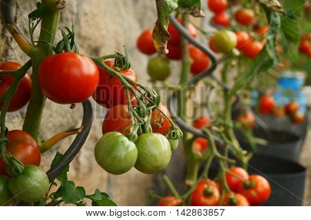 Tomatoes Plants With Produce