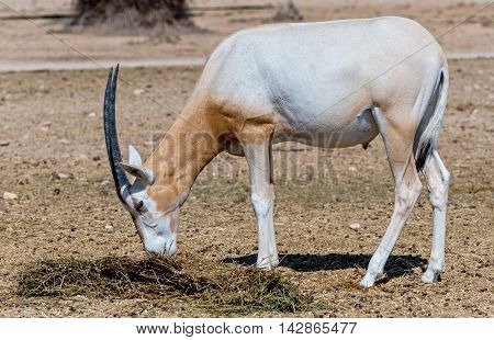 Sahara scimitar Oryx (Oryx leucoryx) in Hai-Bar nature reserve near Eilat, Israel. This species is in danger of extinction in its native environment in Sahara desert poster